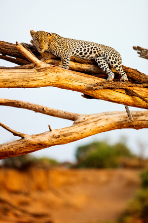Beautiful male leopard on a tree in Kenya Africa Stock Photo