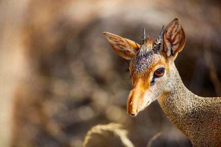 Close up of Dik dik antelope in Samburu national park in Kenya