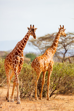 Samburu special five Reticulated giraffes in national reserve in Kenya