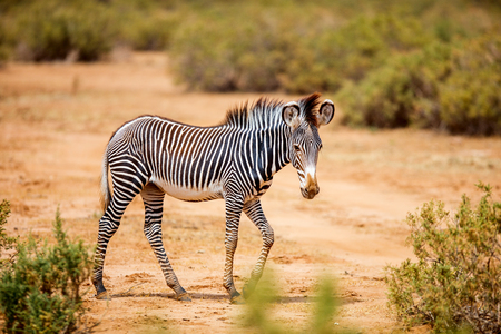 Samburu special five Grevys baby zebra in national reserve in Kenya