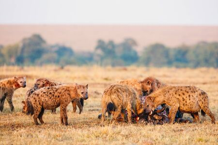 Hyenas pack after successful wildebeest hunt in safari park in Kenya