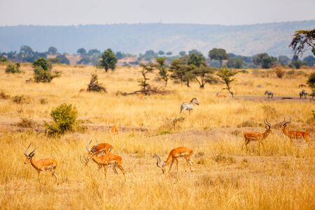 Group of impala antelopes and zebras in Masai Mara safari park in Kenya