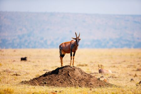 Topi antelope standing on mound surveying surrounding territory