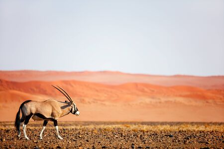 Oryx antelope walking against red sand dunes of Sossusvlei in Namib desert Namibia Stok Fotoğraf