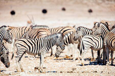 Zebras herd on the vast open plains of Etosha Namibia