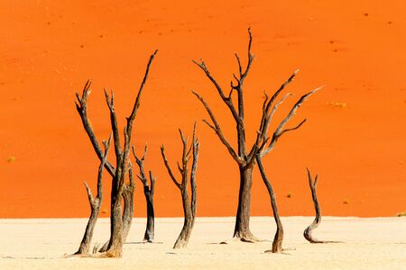 Dead camelthorn trees against red dunes in Deadvlei Namibia