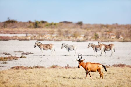 Topi antelope and zebras on the vast open plains of Etosha Namibia