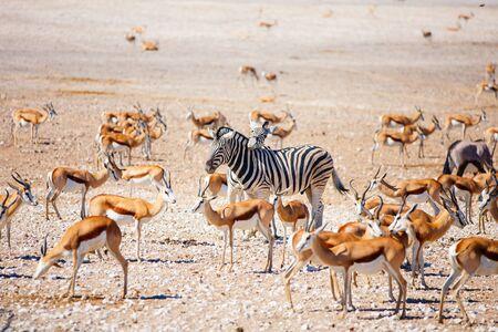 Zebras, springbok herd and oryx at Nebrownii waterhole in Etosha Namibia