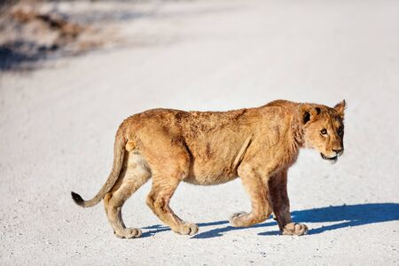 Young lion crossing a road in Etosha national park in Namibia