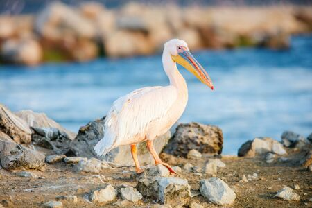 Pelican close up at Walvis bay Namibia Stok Fotoğraf