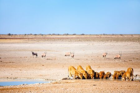 Lions pride with cubs drinking at Nebrownii waterhole in Etosha Namibia