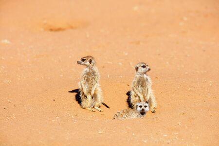 Family of meerkat or suricate watching out for danger hiding in burrow in Kalahari in Namibia