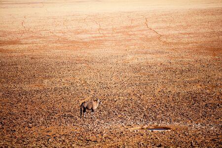 High angle view of oryx antelope near waterhole in Namib desert