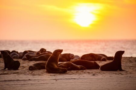 Seal colony at Pelican point coast in Namibia at sunset
