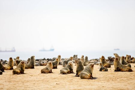 Seal colony at Pelican point coast at Walvis bay in Namibia Фото со стока