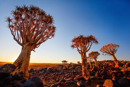 Landscape of quiver tree forest near Keetmanshoop in Namibia at sunset