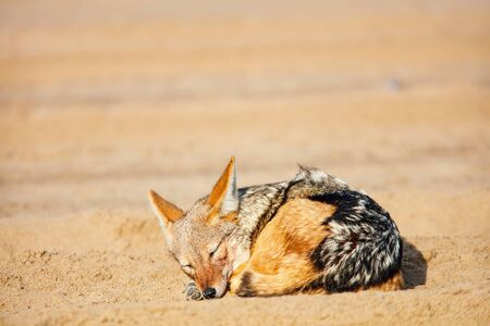 Jackal sleeping on sand at Walvis bay in Namibia