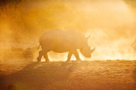 Rinoceronte blanco en una hermosa luz del atardecer en el parque de Namibia Foto de archivo