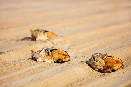 Jackals sleeping on sand at Walvis bay in Namibia