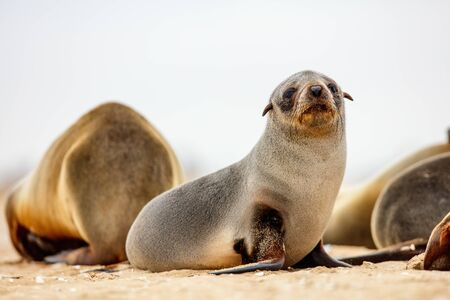 Baby seal at Pelican point coast in Namibia Фото со стока