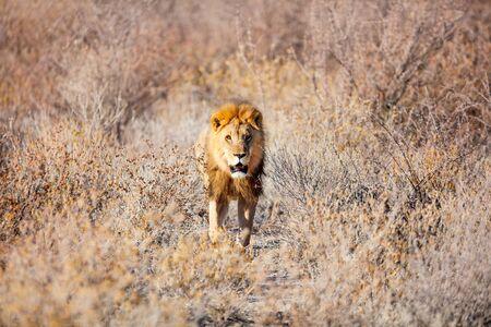 Big male lion walking towards camera in Etosha national park in Namibia