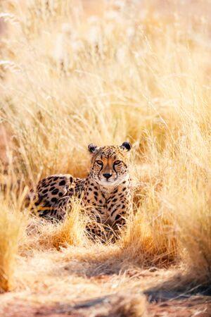 Close up of beautiful cheetah outdoor in natural environment