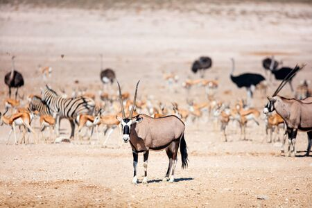 Oryx, zebra, springbok herds and ostriches at Nebrownii waterhole in Etosha Namibia