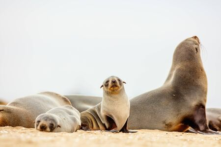 Baby seal at Pelican point coast in Namibia Banco de Imagens - 130798593
