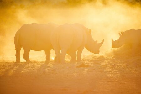 White rhinos in a beautiful sunset light in Namibia park 写真素材