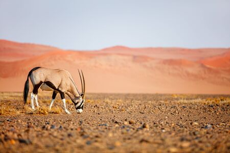 Oryx antelope walking against red sand dunes of Sossusvlei in Namib desert Namibia