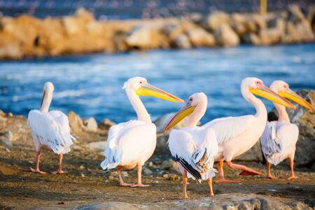 Pelicans at Walvis bay Namibia