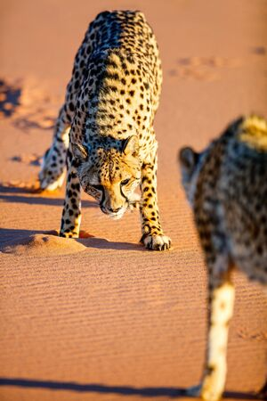 Close up of two cheetahs outdoor in natural environment