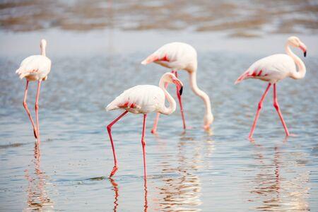Flock of flamingos at Walvis bay Namibia