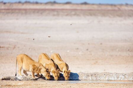 Female lions drinking at Nebrownii waterhole in Etosha Namibia
