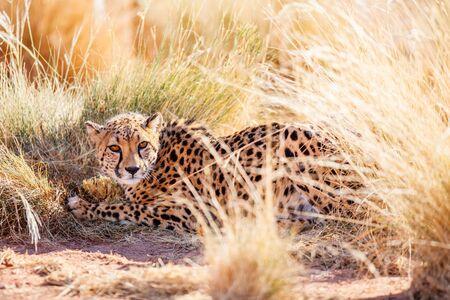 Close up of beautiful cheetah outdoor in natural environment 写真素材