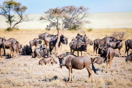 Wildebeests in Etosha Namibia