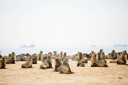Seal colony at Pelican point coast at Walvis bay in Namibia Stockfoto