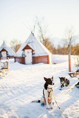 Husky kennel visit in Northern Norway Standard-Bild
