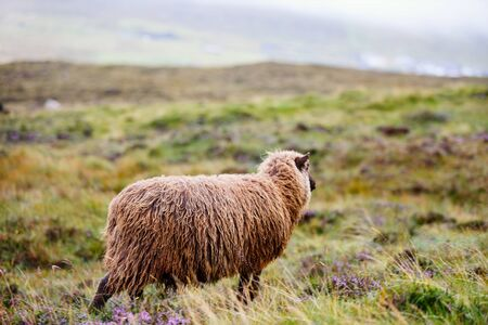 Sheep in Faroe Islands Europe Banco de Imagens
