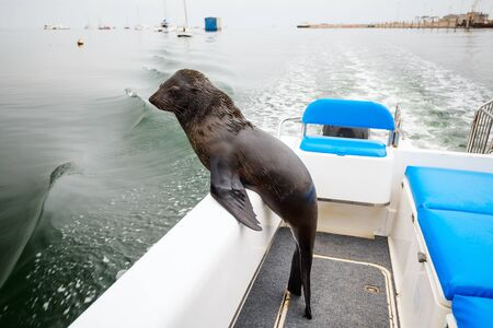 Wild seal on boat 스톡 콘텐츠