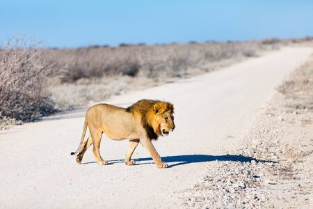 Big male lion crossing a road in Etosha national park in Namibia