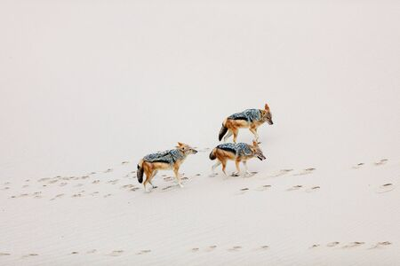 Jackals running on sand at Walvis bay in Namibia