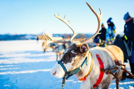Reindeer in Northern Norway on sunny winter day