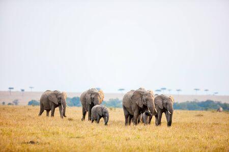 Group of elephants in safari park in Kenya Africa Standard-Bild