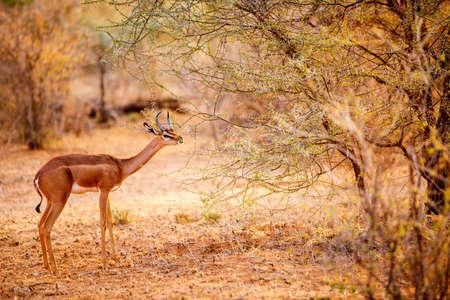 Gerenuk antelope Samburu special five in national park in Kenya