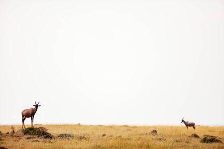 Topi antelopes standing on mound surveying surrounding territory