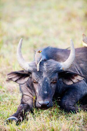 Close up portrait of wild buffalo
