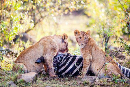 Young lion cubs feeding on zebra in Masai Mara park in Kenya
