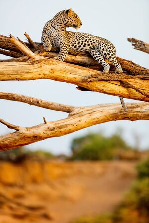 Beautiful male leopard on a tree in Kenya Africa Stockfoto