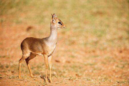 Dik dik antelope in Samburu national park in Kenya